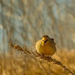 Floofy! (Nutzy402) Tags: meadowlark nebraska fluffy yellow silly funny nature wildlife nikon conservancy bird spring birding outdoors