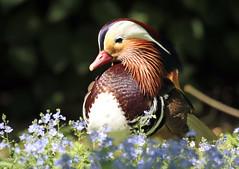 mandarijneend Krefeld JN6A0729 (j.a.kok) Tags: birds duck vogels mandarinduck eend mandarijneend