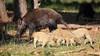 NP de Hoge Veluwe (JGOM) Tags: park wild nature netherlands forest outdoor wildlife nederland national wildzwijn veluwe gelderland hogeveluwe wildboar zwijn wildboars npdehogeveluwe