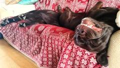 Bank Holiday Monday.. (Michael C. Hall) Tags: ireland home comfort dogs spoiled asleep sofa labrador chocolate