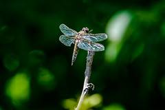 Wounded Warrior (Anymouse02) Tags: nature digital dragonfly wounded phoebe