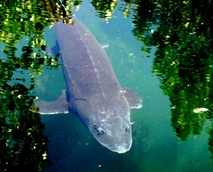 White sturgeon (EcoSnake) Tags: fish water june sturgeon naturecenter idahofishandgame whitestrgeon