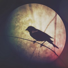June Moon (Caroline.32) Tags: happyslaidersunday slidersunday nikond7100 mextures texture fullmoon redwingedblackbird fullstrawberrymoon summersolstice