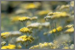 Yellow (Erik v Hassel) Tags: yellow dof