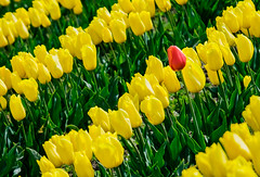 Odd Man Out (jim.c.martin) Tags: flowers plants nature tulips skagitvalley tulipfestival 9old