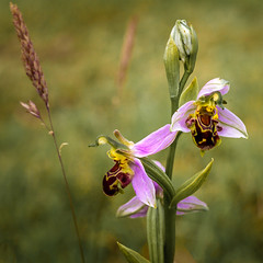 Bee Orchid (Linton Snapper) Tags: beeorchid wildorchid orchid flower blossom bloom canon sigma50mmart outdoors essex