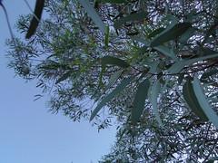 Eucalyptus (EllenJo) Tags: tree leaves pentax eucalyptus 2016 june15 ellenjo ellenjoroberts pentaxqs1