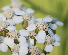 Yarrow Flowers (corey.raimond) Tags: yarrow achilleamillefolium plant wildflower wisconsin flora whiteflower rayflower discflower asteraceae wisconsinwildflower