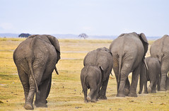 Elephants Away (Ashwati Vipin - Back after hiatus) Tags: life africa travel family light wild sun holiday elephant green love tourism home nature beautiful grass sunshine animals yellow landscape photography nationalpark nikon skies colours kenya outdoor wildlife horizon conservation beautifullight places m adventure safari journey experience wildanimal savannah wilderness majestic herbivores mammals lovenature africanelephant wildlifesafari ecosystem biodiversity amboseli wildanimals ecotourism naturephotography rehabilitation riftvalley eastafrica africansafari nikoncamera naturelove wildsafari loveanimals wildlifephotography animallove nikonusers wildafrica amboselinationalpark adventureholiday wildlifeconservation africanlandscape nikonlove nikoncameras nikonclub nikond5000 savannahlandscapes nikond5000users