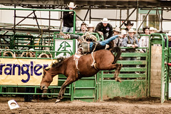 Hangin' in there (Blue Trail Photography) Tags: wild horse canada west grande cowboy north alberta rodeo bronco prairie buck bucking stompede