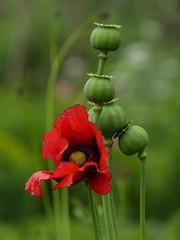 Opium poppy (joeke pieters) Tags: 1280076 panasonicdmcfz150 papaver bloem flower slaapbol papaversomniferum bolpapaver opiumpoppy moestuinkasteelhackfort achterhoek gelderland nederland netherlands holland nature bokeh platinumheartaward ngc npc