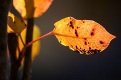 Autumn Leaves (Arzivenkos) Tags: macro leaves nikon d70 bokeh 25faves