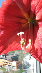 Amaryllis am Fenster (eagle1effi) Tags: red flower macro rot rouge amaryllis supermacro sx1 canonmacro ritterstern supermacroon2