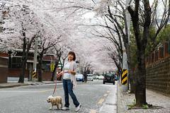 Cherry Blossoms in Full Bloom in Jinhae, South Korea (Peter Tsai Photography) Tags: pink snow rain cherry spring south blossoms korea petal bloom chinhae jinhae