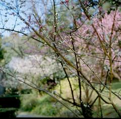 plum-blossom /  (SOVA5) Tags: pink white plant flower tree film plumblossom yashicaflex kodakportra400  yashikor135f80mm