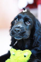 ~Mona~ (Renata S.P.) Tags: dog black cão female puppy 50mm mona preto cachorro filhote fêmea englishcockerspaniel canonxsi