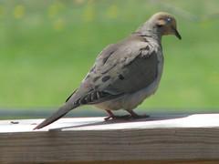 I love birds (roberthuffstutter) Tags: birds gulls shorebirds birddogs birdart ilovebirds angrybirds funnybirds sketchesofbirds craftsbirds birdsarespecial