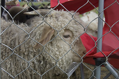 Nommable (Ragnvaeig) Tags: md maryland howardcounty westfriendship marylandsheepandwool howardcountyfair mdsheepandwool