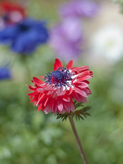 Anemone (Polotaro) Tags: flower nature pen olympus anemone   zuiko ep1    gzuiko50mmf14
