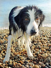 Sea Urchin (meg price) Tags: sea dog pet beach wet collie sheepdog border bordercollie barney blinkagain ldlportraits