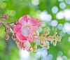 Cannonball Tree #1 (thai-on) Tags: flower tree nature thailand temple nikon d3 singburi persephonesgarden