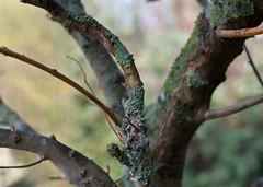 Lichen (Algae, Fungus, Moss?) (Cross Duck) Tags: tree moss bokeh lichen bud treebranches growthbud
