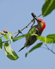 4-7-12 Red Bellied Woodpecker (janeswalden) Tags: red bird nature gardens berry woodpecker feeding wildlife mead bellied