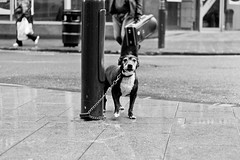 Chained Up (Elliot young) Tags: dog streets west wet water its rain silver eyes alone dof bradford yorkshire culture chain terrier bite emotional left lead staffordshire own vicious chav staffy pitbul attacking rspca cruel streetdog statusdog