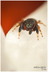 Adult Ballus chalybeius male jumping spider missing one pedipalp (Mario-Cehulic) Tags: macro cute nature closeup spider jumping eyes missing legs spiders sony arachnid small young sigma jumper 24mm reversed fangs salticidae a700 ballus chalybeius pedipalp