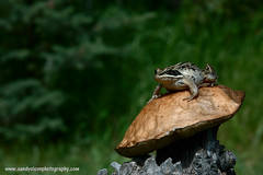 Wood Frog (sandyolson) Tags: coyote blackandwhite canada macro bird history nature beautiful birds silhouette children photography wolf eagle wildlife insects moose canadian frog wilderness baroque johnlennon mammals chiaroscuro renaissance awardwinning irlambriggs