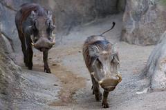 The Coming of the Warthogs (David Arbogast) Tags: zoo kansascity warthog kansascityzoo ef100400mmf4556lisusm