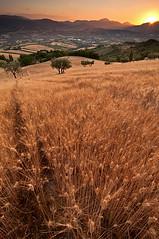 colle del sole (Andrea Morico) Tags: nikon italia tramonto landescape marche paesaggio grano nikond90