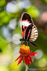 Heliconius melpomene [Explored] (Thelma Gatuzzo) Tags: trip travel flowers sea flores flower nature birds animals june butterfly keys landscape florida bokeh ngc fortlauderdale 2012 heliconiusmelpomene butterflyworld 60d coth5 blinkagain bestofblinkwinners thelmagatuzzo sunrays5