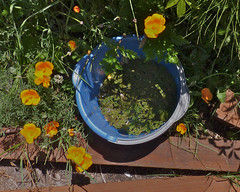 A Ring of Poppies (Room With A View) Tags: blue orange garden bucket poppies californiapoppies ourdailychallenge