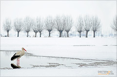 White Stork (Nicola Destefano) Tags: winter italy snow bird animal wildlife ngc piedmont racconigi whitestork ciconiaciconia cicognabianca
