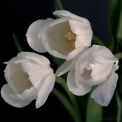 for you my friend !! (Martha MGR) Tags: flowers nature tulips tulipa mmgr canoneosdigitalrebelxs marthamgr marthamgraymundo