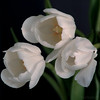 for you my friend !! (MarthaMGR ❀I´m back again❀) Tags: flowers nature tulips tulipa mmgr canoneosdigitalrebelxs marthamgr marthamgraymundo