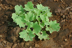 succulent (cam17) Tags: galapagos groundcover warmblooded islasancristobal puntapitt thinsoil drysandysoil asucculent