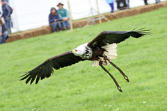 "African Fish Eagle 1 (FlyingV99) Tags: school bird hall flying suffolk eagle display country fair owl falcon 2012 talons africanfisheagle prey"" ""birds heveningham ""english falconry"""