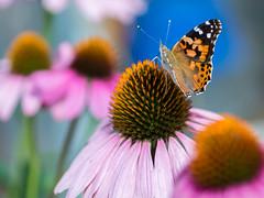EM501623-2 (MrKal_El) Tags: flowers flower macro rose butterfly nursery butterflies olympus 45mm omd em5 microfourthirds mu43
