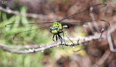 Eastern Pondhawk (Erythemis simplicicollis) (zeesstof) Tags: nature woodlands texas dragonfly pondhawk thewoodlands forestwalk femalepondhawk canonxsi georgemitchellnaturepreserve zeesstof canonef2255mmf456usmmacro