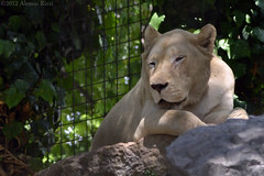 LEONE BIANCO - White Lion (Alessio Rizzi) Tags: park parco white nature animals mammal nikon leo lion natura safari le 300 tamron 70 leone bergamo bianco animali bg 70300 panthera tamron70300 mammifero cornelle faunistico valbrembo krugeri d3100 nikond3100