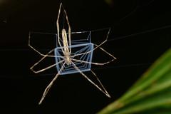 Net-casting spider (ggallice) Tags: net night spider web arachnid sp faced casting ogre deinopis deinopidae
