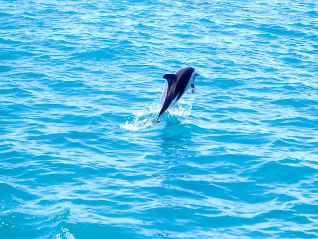 Dolphins in Kaikoura 2