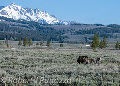 Electric Moment (ChicagoBob46) Tags: yellowstonenationalpark yellowstone grizzly grizz grizzlybear thenaturesgreenpeace amazingwildlifephotography