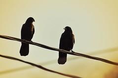 We Two III (liquidnight) Tags: camera two birds animals oregon portland nikon wildlife pair birding powerlines cables together wires urbanwildlife perch pdx laurelhurst crows birdwatching corvid alert corvusbrachyrhynchos watchful corvidae d90