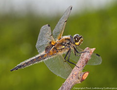 IMG_0160 Four-spotted Chaser (Libellula quadrimaculata) male, Ufton Fields, Warwickshire, 27 June 2012 (Lathers) Tags: warwickshire fourspottedchaser libellulaquadrimaculata uftonfields canon7d warwickshirewildlifetrust canonef100f28lisusm wkwt 27june12
