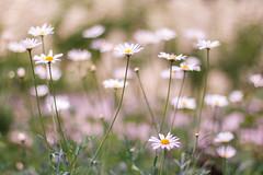 Summer daisies (Zoë Power) Tags: summer soft pastel softness daisy 50mmf14 rosemoor