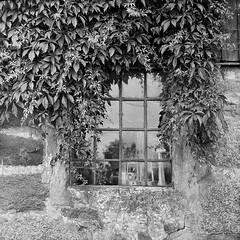 Woodbine and windows (Mattias Lindgren) Tags: bw 120 film window analog diy skne vines sweden tmax scan 400 medium format woodbine yashicad vildvin vnga 400tmy2