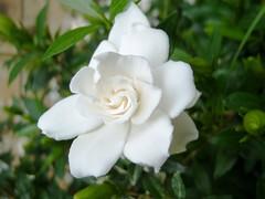 plant flower nature gardenia